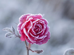 Chraňte vaše rostliny před posledními mrazíky