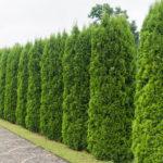 Vypěstujte si vlastní živý plot
